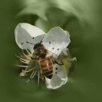 active Manuka honey flower